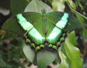 Foto eines grünen Schmetterlings (webgewandt)